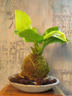 Kokedama Hanging Philodendron Moonlight Moss Ball by PlantsAndSuch