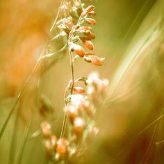 Neu in meiner Galerie bei OhMyPrints: GOLDEN SPANGLES #kunst #fotografie #ohmyprings #kunstdrucke #natur #blumen #pflanzen #art #photography #nature #gelb #gold #goldocker