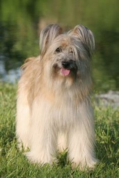 Pyrenean sheep dog )