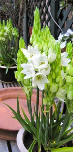 The Star of Bethlehem is a great plant for a white garden. Joe Ruggiero dining terrace.