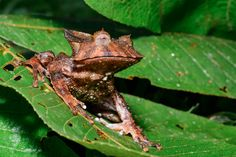 Palestina Huila Colombia: Johnson's horned treefrog (Hemiphractus johnsoni)