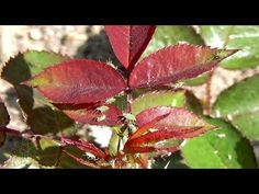 Co stosować na mszyce? - YouTube Plant Leaves, Plants, Youtube, Tips, Lawn And Garden, Plant, Youtubers, Youtube Movies, Planets