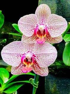 Twins by Susan Chan   Phalaenopsis