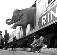 Un elefante del circo Ringling Brothers scende dalla carrozza di un treno nella ferrovia del Bronx, a New York, 1 aprile 1963. Il circo rimase aperto ai giardini di Madison Square per 40 giorni, presentandosi come The Greatest Show on Earth, il più grande spettacolo della Terra. (AP Photo)