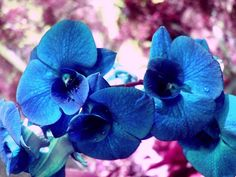 Blue Orchid Flower Photo