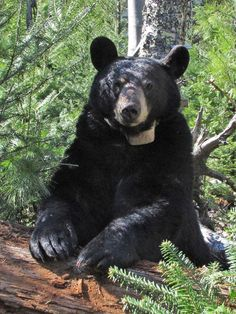Lily the black bear...follow Dr. Rogers research at the North American Bear Center