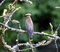 Cedar Waxwings – Mock Orange Salmon & Thimble Berries | Tree Oathe ...