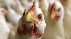 İki ay önce Rusya'nın güneyinde görülen kanatlı H5N8 kuş gribi ilerliyor. Detaylar ajanimo.com'da.. #ajanimo #ajanbrian #hayvan #animal