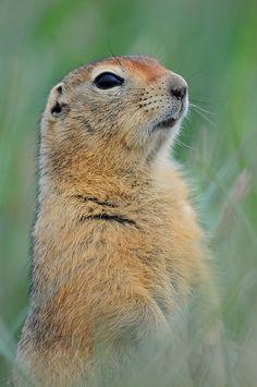 North Slope Arctic ground squirrel by www.ryanaskren.com on Flickr. Ground Squirrel, Betty White, Antarctica, Animales