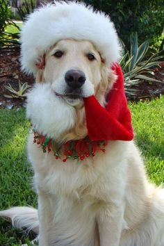 Cute White Golden Retriever is ready for Christmas | Cute puppy and dog