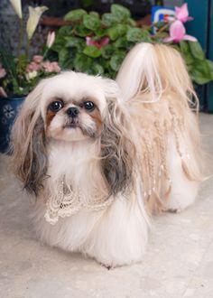 Gorgeous China --愛犬の友 ヘアスタイルカタログ--