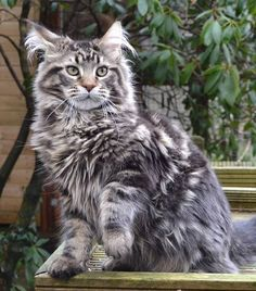 Are you looking to find Maine Coon Kittens for sale? We have some tips and advice to help you find these cats for sale from a trusted breeder in your area Chat Maine Coon, Maine Coon Kittens, Cats And Kittens, Tabby Cats, Pretty Cats, Beautiful Cats, Domestic Cat Breeds, Norwegian Forest Cat, Small Cat