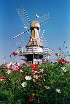 Windmill and Cosmos