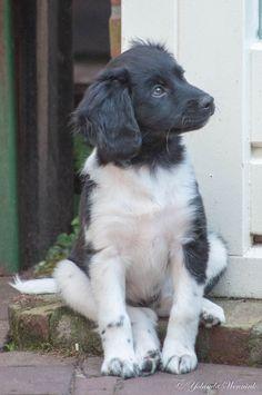 puppy frisian pointer Kom Achterom