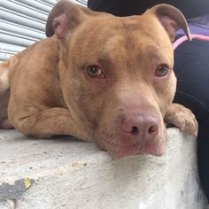 3/14/16 STILL WAITING - PLEASE SAVE THIS WONDERFUL FRIEND - HE HAS WAITED FOR SO LONG!! BENGAL – A1063750 ***SAFER : EXPERIENCED HOME / NO YOUNG CHILDREN*** MALE, BR BRINDLE, AM PIT BULL TER, 2 yrs STRAY – STRAY WAIT, NO HOLD Reason STRAY Intake condition UNSPECIFIE Intake Date 01/27/2016, From NY 11223, DueOut Date 01/30/2016,