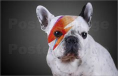 Zingy Frenchie, French Bulldog as Ziggy Stardust Poster.