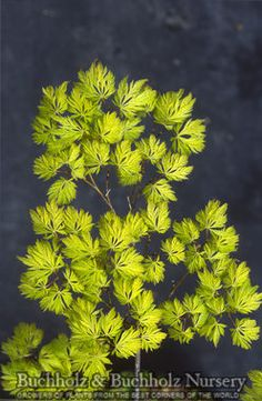 Acer palmatum Filigree 3 year Green Lace Leaf Japanese maple
