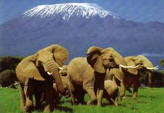 Elephants & Mt Kilimanjaro the roof of Africa located in Tanzania East Africa
