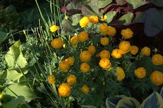 Engblomme - Trollius With Hosta and other shade plants.