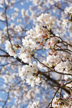 Flowers Nature, Pretty Flowers, Flower Wallpaper, Iphone Wallpaper, Cherry Flower, Beautiful Flowers Wallpapers, Peach Blossoms, Beautiful Mind, Flowering Trees