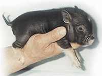 """The caption for this pic on the web is """"tiny oink miniature pet"""""""