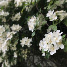 満開池之端あたりなんだろう What's this name? #flower #ikenohata #tokyo