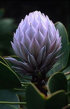 Garden Flowers - Annuals Or Perennials Protea 1413 South Africa The Cape. Photography By Andy Small. Unusual Flowers, Amazing Flowers, Purple Flowers, Beautiful Flowers, Agaves, Cactus Y Suculentas, Cacti And Succulents, Trees To Plant, Garden Plants