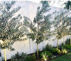 I have a thing for olive trees and garden lighting 👌👌 Pic: . I have a thing for olive trees and garden lighting 👌👌 Pic: . Backyard Plants, Backyard Landscaping, Garden Plants, Backyard Ideas, Baumgarten, Australian Garden, Garden Trees, Garden Lighting For Trees, Hedge Trees
