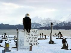 Homer, Alaska... On the spit, in the winter.  Love all of the Eagles!❤