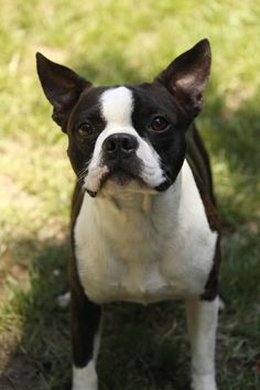 Boston Terrier  OH MY...THIS SO LOOKS LIKE CAPTAIN!!!
