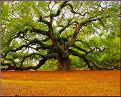 A living Angel Oak, approx 1200 yrs old, on St. John's Island outside of Charleston S. C.