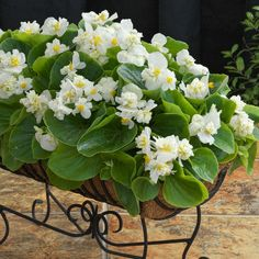 Create a clean, bright flower display with new Begonia Fiona White. This Begonia is a semi-double type and presents strong, upright blooming flowers. Plants are self-cleaning and provide continuous color throughout the summer until the first frost. Bright Flowers, Blooming Flowers, Downers Grove, Begonia, Summer Garden, Garden Plants, Frost, Presents, Strong
