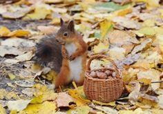 Squirrel With Nuts in Autumn - Autumn, Squirrel, Nut, Animal, Acorn, Autumn Leaf, Squirrel Nuts