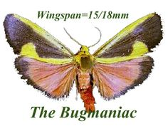 Arctidae VB : Cisthene plumbea set 3 - The Bugmaniac INSECTS FOR SALE BUTTERFLIES FOR SALE INSECTS FOR SALE MOTHS FOR SALE MOTHS BY ECOZONE PALEARTIC ECOZONE + N-AMERICA ARCTIIDAE