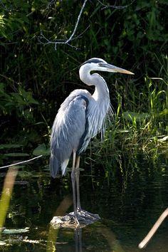 Bird, Heron, Great, Blue, Waterfowl, Wildlife, Nature