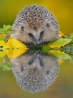 Hedgehog in autumn checking out his reflection in the water.Hedgehog via Pixdaus.