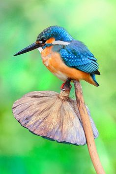 Common Kingfisher by Ben To ... gorgeous bird