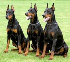 dobermans | Dobermans In my opinion this is the 3rd greatest dog in the world