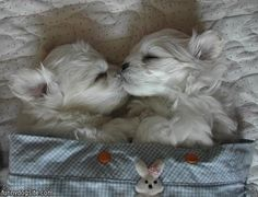 This Maltese couple — already lucky in love — braves morning breath for a sleepy smooch. 30 Pictures Of Dogs Beating You At Valentine's Day Baby Animals, Funny Animals, Cute Animals, Cute Puppies, Cute Dogs, Poodle Puppies, Maltese Dogs, Teacup Maltese, Westies