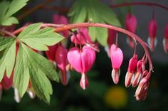 Bleeding heart in our three-season flower bed. Credit: Cindy Christian