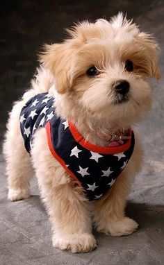 patriotic puppy ✿⊱╮Happy 4th dear cottage friends !!!!!