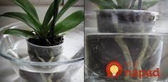 Cesnak je pre orchideu hotovým zázrakom: Ak vám dlho nekvitla, vezmite 3 strúčiky a skúste tento tip, čoskoro sa objavia prvé puky! Orchid Care, Ikebana, Beautiful Gardens, Indoor Plants, Bonsai, House Plants, Terrarium, Gardening Tips, Flora