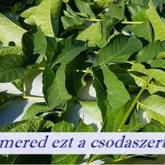 Dió levél - Ismered ezt a csodaszert? Spinach, Plant Leaves, The Cure, Health Fitness, Herbs, Tea, Vegetables, Healthy, Plants