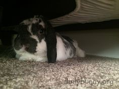 Bunny's found a nice dark, cool hiding spot under the bed - August 29, 2015
