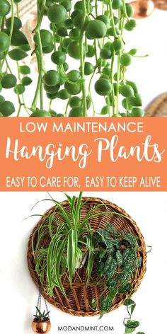Looking for a good plant to hang? You want it to be easy to care for, since plants higher up are harder to reach and easy to forget about. You need easy growing, non-fussy, low maintenance plants. These are the best hanging plants for your home! Ivy Plants, Cool Plants, Inside Plants, Cactus Plants, Inside Garden, Flowering Plants, Spider Plant Babies, Best Indoor Hanging Plants, Kinds Of Cactus