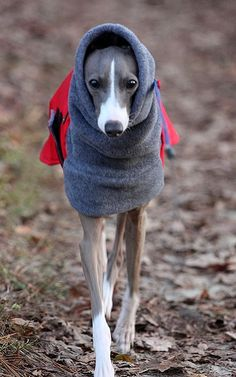 Italian Greyhound. | Flickr - Photo by angela fotos