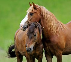 Embryo transfer has become almost commonplace in the equine industry.