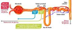 SLGT 2 en el riñon