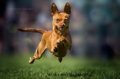 "smiling-flying-dog - Small dog at the fun dorgracing ""Struppirennen"" Rifferswil Flying Dog, Dog Life, Small Dogs, Smile, Christmas Ornaments, Happiness, Animals, Pet Dogs, Homes"