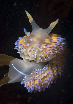 Bonisa nakaza (gas flame nudibranch)  on a kelp frond